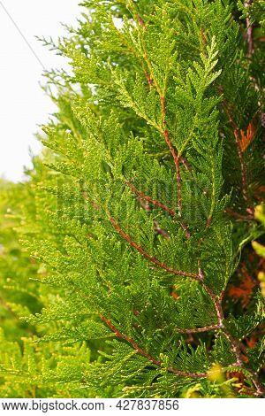Juicy Color Green Cypress Branch Close Up