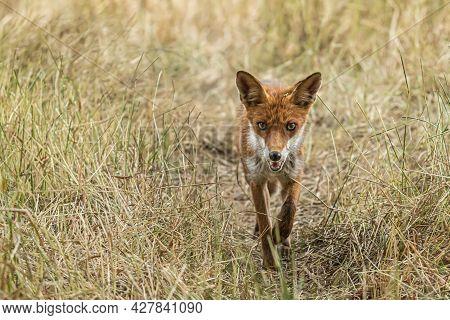 Red Fox, Vulpes Vulpes. Orange Fur Coat Animal. Fox In Nature. Wildlife Scene. Habitat Europe, Asia,
