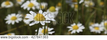 Nature Banner. Chamomile Field With Flowers. The Concept Of Nature, Environment, Cleanliness And Eco
