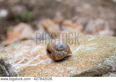 French Cuisine, Big Tasty Edible Land Snails Escargot Growing On Vineyards In Burgugne, France