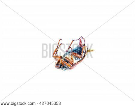 Insect Beetle Melolontha On A White Background.