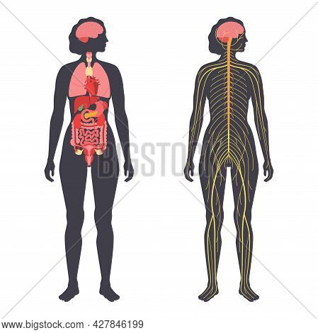 Internal Organs, Nervous System, In Human Body. Network Of Nerves Cns And Pns Systems. Cerebellum Br