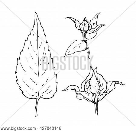 Vector Set Of Monarda Leaf And Buds. Hand-drawn In The Sketch Style Of The Bergamot Plant, Isolated