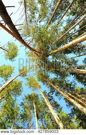 A View From Below To The Blue Sky Through The Tops Of Tall Pines.