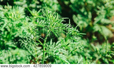 Ragweed Plant Allergen, Toxic Meadow Grass. Blooming Ambrosia Bush. Allergy To Ragweed Ambrosia . Bl