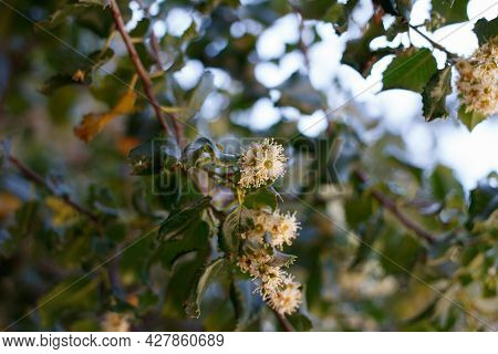 Blooming White Axillary Indeterminate Raceme Inflorescences Of Hollyleaf Cherry, Prunus Ilicifolia,