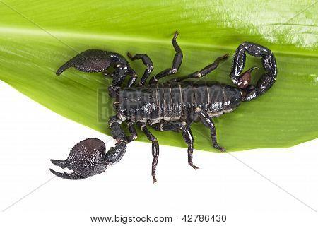Scorpion (pandinus Imperator) On A Green Leaf