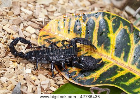 Emperor Scorpion In Wildlife