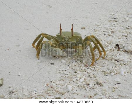 Maldives Crab