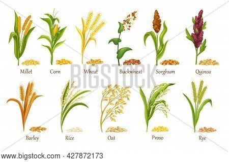 Grass Cereal Crops, Agricultural Plant Vector Illustration. Set Heap Grains Seeds, Farm Crop Harvest