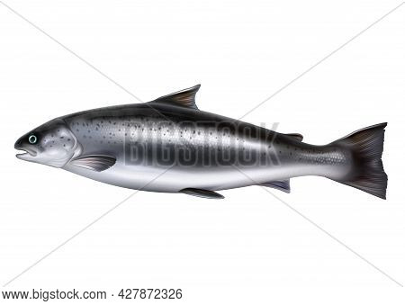 Whole Salmon Fish Vector Realistic Isolated Illustration. Raw Red Fish Or Trout.