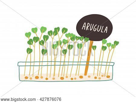 Arugula Microgreens Growing In Container. Rucola Micro Greens With Plant Label Tag. Green Fresh Spro