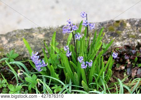 Bunch Of Hyacinths Or Hyacinthus Flowering Plants Full Of Small Light Blue Fully Open Blooming Flowe