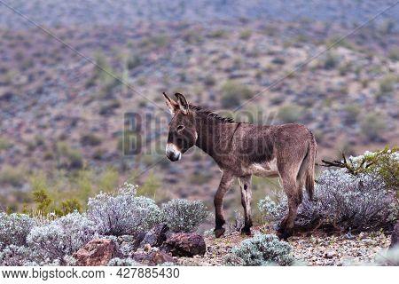 Wild Burro, Equus Asinus, Thriving In Arid Bushland Grazing, Sonoran Desert, Arizona, Az, Usa