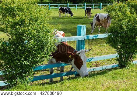 Brown Spotted Cow Is Grazing With Push His Head Through The Wooden Longitudinal Fence Bars On An Enc