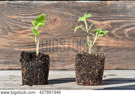 Young Green Sprouts Of Tree In Pots Ready To Planting. Green Sapling Of Paulownia Tree. Beautiful Fa