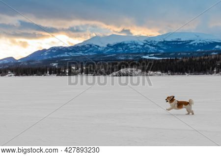 Happy Cavalier King Charles Spaniel Companion Dog Running Outdoors On White Snow Covered Frozen Lake