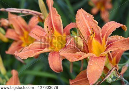 Orange Lily Flowers In The Garden Close Up.dwarf Matrix Asiatic Lilium.selective Focus.
