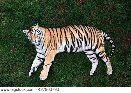 Amur Tiger On A Grass In Summer Day.