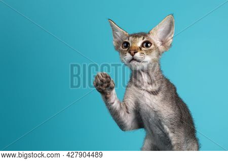 Head Shot Of A Cute Frizzy Laperm Cat Kitten. Looking Away From Lens, One Paw High Up Like Chinese L