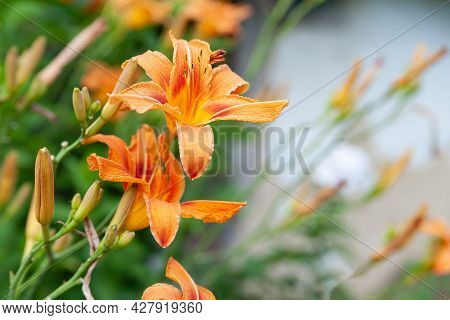 Lily Flowers. Beautiful Orange Flowers Lilies On A Blurred Background. Daylily In The Garden. Garden