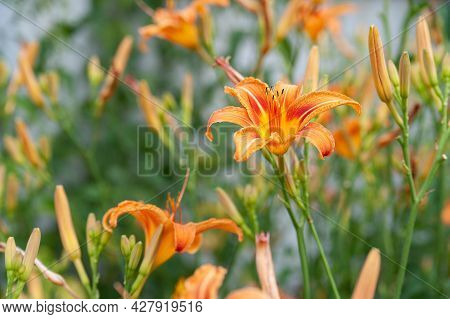 Lily Flowers. Beautiful Orange Flowers Lilies On A Blurred Natural Background. Daylily In The Garden