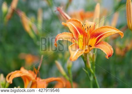 Lily Flowers. Beautiful Orange Lily Flowers On Blurred Natural Green Background. Daylily In The Gard