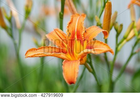 Lily Flowers. Close-up Of Beautiful Large Orange Lily Flowers On A Blurred Background. Daylily In Th