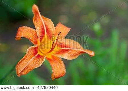 Lily Flowers. Wet Beautiful Orange Flowers Lilies With Raindrops On A Blurred Background With Bokeh