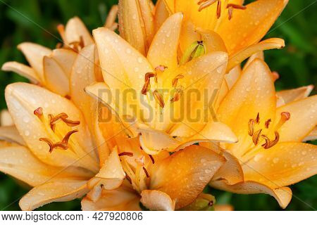 Lily Flowers. Close-up Of Wet Beautiful Large Orange-pink Flowers Lilies With Drops. Daylily In The