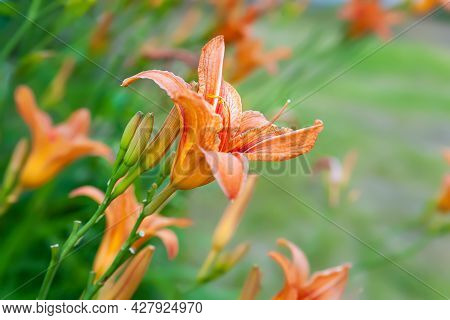 Lily Flowers. Beautiful Orange Lily Flowers On Blurred Natural Green Background With Bokeh Effect. D