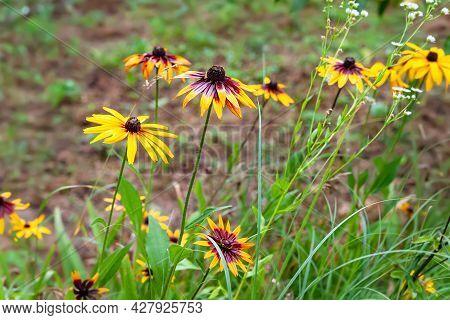 Rudbeckia Flowers. A Lot Of Wet Big Yellow Beautiful Rudbeckia Flowers In The Flowerbed After The Ra