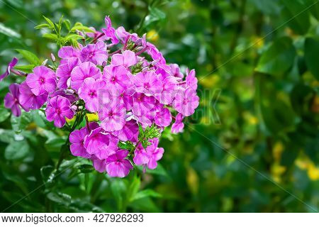 Phlox Flowers. Beautiful Large Inflorescences Of Purple Phlox On A Blurred Background With Bokeh Eff