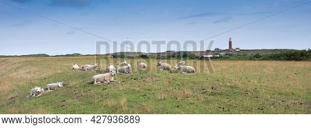 Sheep In Grass On Dike Near De Cocksdorp And Lighthouse On Dutch Island Of Texel In The Netherlands
