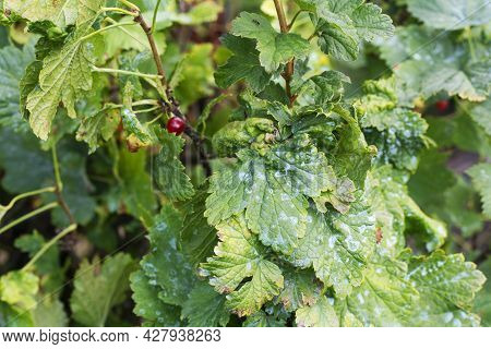 Damaged Leaves On A Red Currant Leaves Strongly Affected With Gall Aphid On Currants