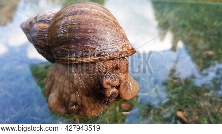 .a Huge Snail Crawls On The Glass, Which Reflects The Clouds And The Sky. Achatina Fulica- The Large