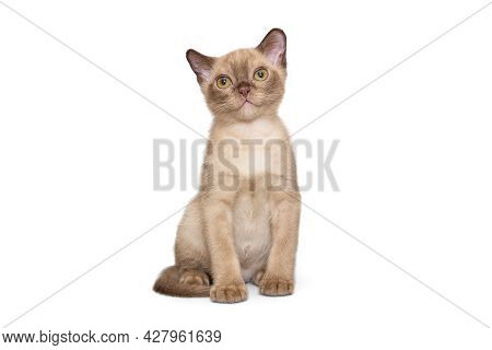 Beautiful Young Kitten Of The European Burmese