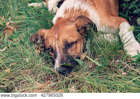 Homeless Abandoned Stray Dog. Homeless Dog Looks With Huge Sad Eyes With The Hope Of Finding A Home.