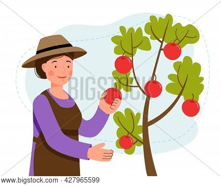 Woman In Hat Picks Apples From A Tree In The Garden. Picking Fruits. Gardening. Farming. Vector Flat