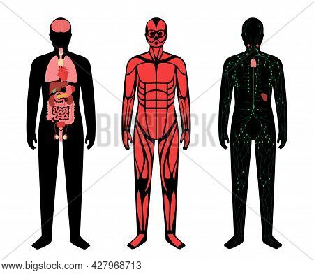 Internal Organs, Muscular And Lymphatic Systems In Human Body. Structure Of Muscle Groups, Lymph Nod