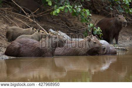 Closeup Portrait Of Family Of Capybara (hydrochoerus Hydrochaeris) Resting And Swimming On Riverbank