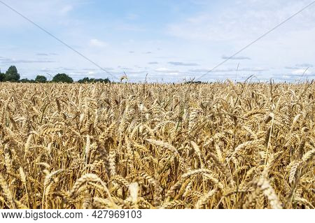 Close-up Of Ears Of Cereal Crop In The Field. Harvest, Autumn Concept. Selective And Soft Focus.
