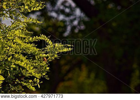 Sunlight In Leaves Of Black Locust Tree, Canyon, Texas In The Panhandle Near Amarillo, Summer Of 202