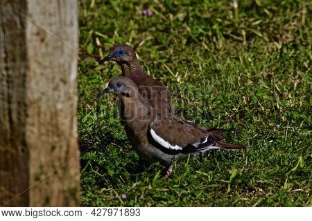 White-winged Dove In Canyon, Texas In The Panhandle Near Amarillo, Summer Of 2021