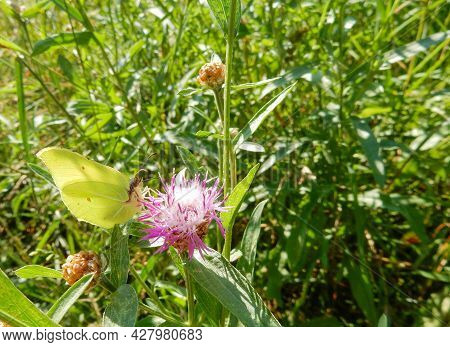 Butterfly Lemongrass On A Meadow Cornflower On Blurred Summer Background