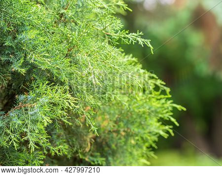 Thuja Branches In Spring. Fresh Thuja Branches In The Sunset Light.
