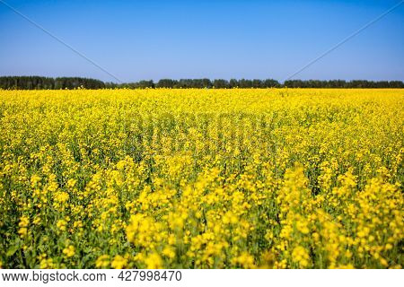 Yellow Rapeseed Flowers In A Field Against A Blue Sky. Yellow Rapeseed Flowers, Rape, Colza, Rapasee