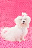 purebred dogs, maltese pedigree dog poster