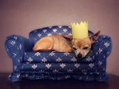 a cute chihuahua with a crown on napping on a couch poster