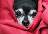a cute  chihuahua in  a blanket looking at the camera poster